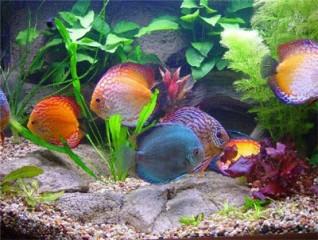Чем кормить аквариумных рыбок