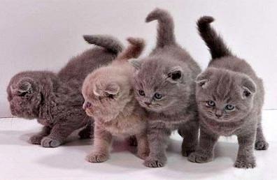 Воспитание британских котят